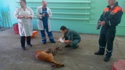 Настанцию «скорой» вБиробиджане забежала раненая дикая коза